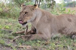 Львица и детеныш бабуина