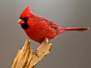 Красный кардинал в клетке