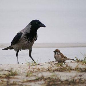 Ворона и воробей